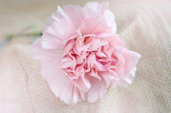 pink-carnation-1024x682.jpg