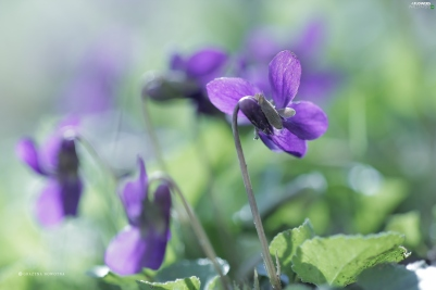 purple-viola-flower-odorata.jpg
