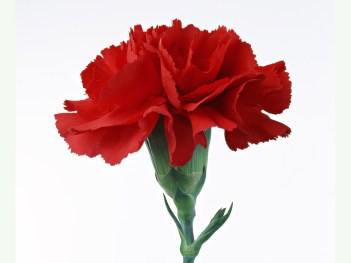 red-Carnations38.jpg